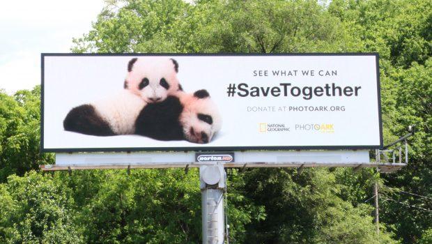 Photo Ark 2 pandas cropped May 30 17